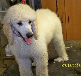 St Poodle Puppies Is An Adoptable Standard Poodle Dog In Moscow