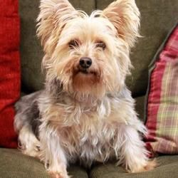 Waco Tx Yorkie Yorkshire Terrier Meet Henry A Pet For Adoption Yorkie Yorkie Yorkshire Terrier Terrier