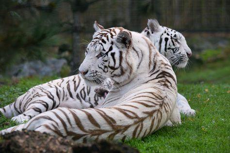 Hai con cọp trắng Olga và Ashka nằm thư giãn tại vườn thú Pessac-Bordeaux ở Pessac, Pháp.