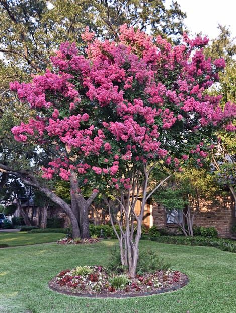 Beautiful Tuscacoora Crape Myrtle Is A Watermelon Red That Thrives In The Texas Garden Ornamental Trees Garden Tree Garden Design Ornamental Trees Landscaping