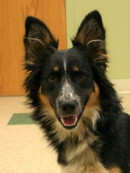 Border Collie Dog For Adoption In Hastings Nebraska Bambi In Hastings Nebraska In 2020 Dog Adoption Collie Dog Border Collie Dog