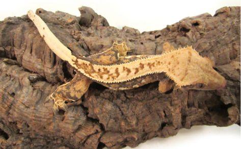 クレステッドゲッコーの特徴と飼育方法を紹介 人気の種類や必要な飼育設備は Woriver クレステッドゲッコー オウカンミカドヤモリ トカゲ