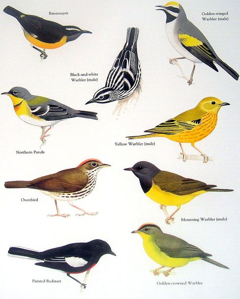 Alexander Wilson's warblers - many examples found in CHAT