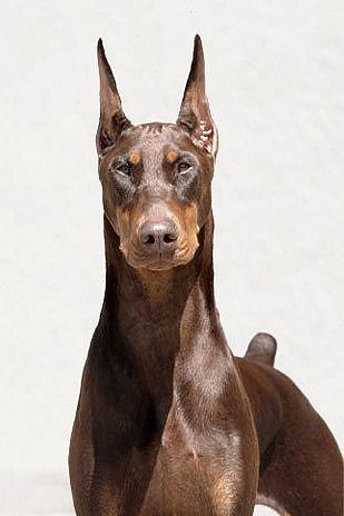 Pin By Darshan Shetye On Wild Beauty Doberman Pinscher Dog Dog