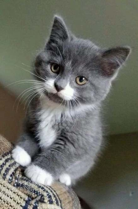 70 Ideas Cats Grey White Gray Pretty Cats Cat Lovers Kittens Cutest