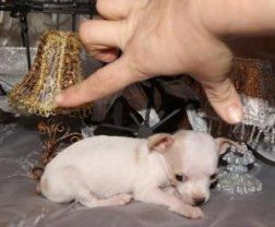 Chihuahua Puppies For Sale Memphis Chihuahua Puppies Chihuahua