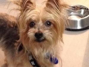 Billy Is An Adoptable Yorkshire Terrier Yorkie Dog In Miami Fl Initial Bio 02 14 2012 Happy Valentine S Day My Name Is Billy I Am 4 Year Yorkie Dogs Dogs Yorkie