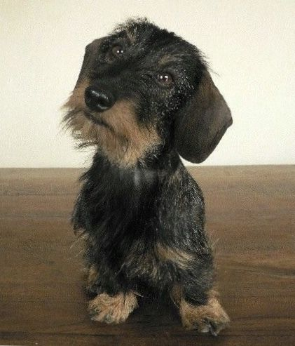 Pin By Anne Green On Wire Hair Dachshunds Pudelpointers Wire