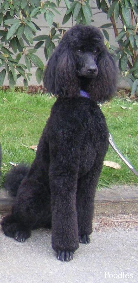 Awesome Standard Poodle Big Dog Breeds That Dont Shed Black