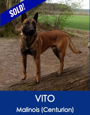 Trained German Shepherd Belgian Malinois Protection Dogs Malinois Dogs Guard Dogs For Sale
