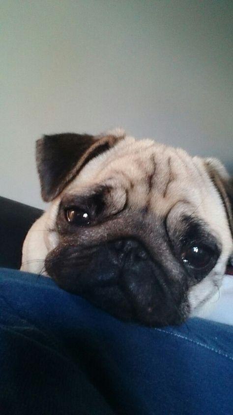 Pin Em Miss Harli My Perfect Pug