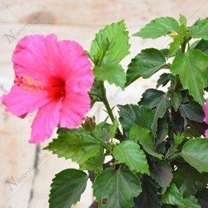 Buy Hibiscus Pink Plant Online At Nurserylive Best Plants At Lowest Price In 2020 Pink Plant Gudhal Flower Hibiscus Plant