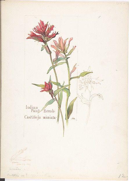 Indian Paint Brush Castilleja miniata Poster Print by Margaret Neilson Armstrong (American New York 1867 New York) x