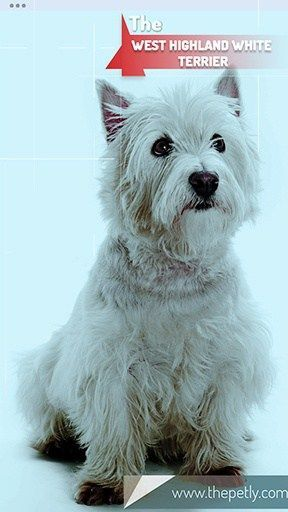 17 Dogs That Don T Shed Much Ultimate Guide For Dog Owners Dog Breeds Hypoallergenic Dog Breed Dogs