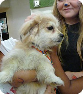 Papillon Mix Dog For Adoption In Zanesville Ohio 46190 Choo