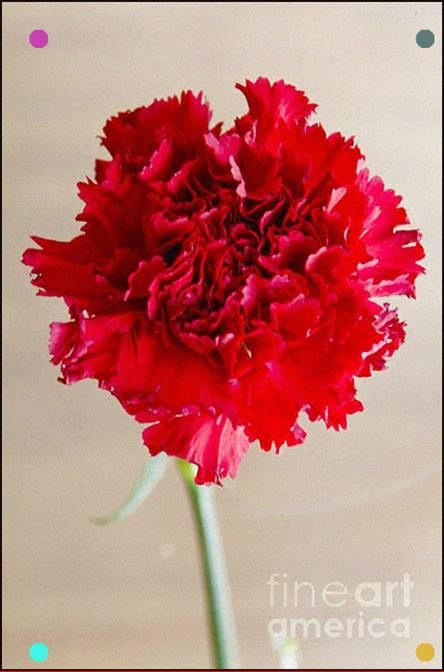Red Carnation Their Color Means Love Pure Gratifying Love Light Red Carnations Stand For Respect And Admiration While Deep Red Sca With Images Carnations Red Carnation
