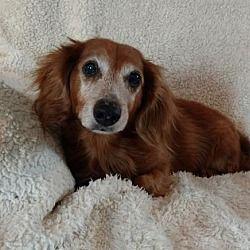 Pin By Doober Supply On Adoptable Dachshunds Dachshund Dog