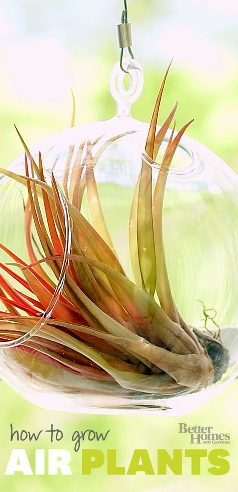 Air plants are perfect for those with a fear of houseplants -- it's easy to grow and care for air plants! http://www.bhg.com/gardening/houseplants/care/grow-air-plants/?socsrc=bhgpin062014growairplants