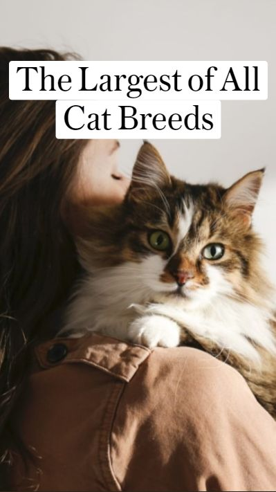 The Largest of All Cat Breeds