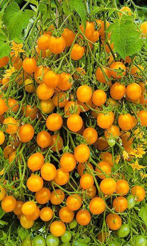 сайт семян уральский дачник