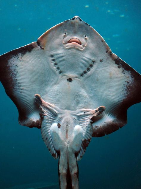 This is how the underside of a Stingray fish look like!