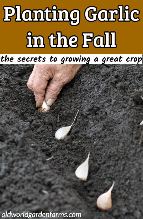 Planting Garlic In The Fall - The Secrets To Growing A Great Crop!