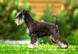 Schnauzer Images Google Search Miniature Schnauzer Dog Breeds