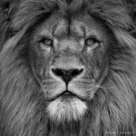 Lion, by Wolf Ademeit