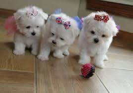 Maltese Puppies For Sale Phoenix Az Cute Dogs Puppies