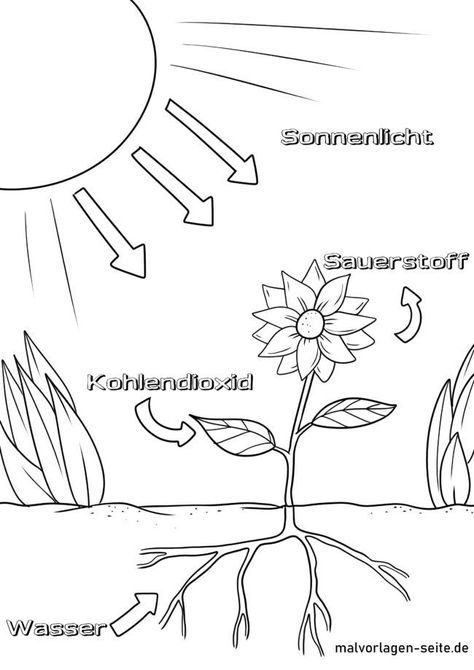 Malvorlage Photosynthese Umwelt Natur Malvorlagen Malvorlagen Fur Jungen Photosynthese