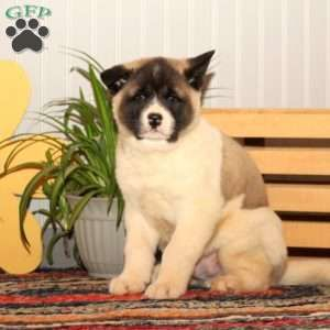 Akita Puppies For Sale Greenfield Puppies In 2020 Akita Puppies For Sale Akita Puppies Puppies For Sale