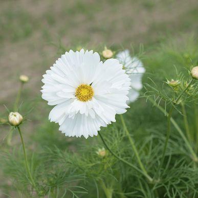 Fizzy White Cosmos Seed White Cosmo White Gardens Moon Garden