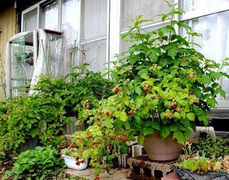 ラズベリー プランター栽培記 育て方 管理 育て方 Jp 花 野菜の育て方など