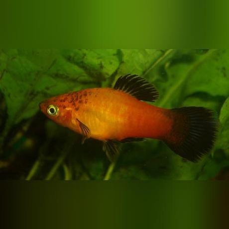 Marigold Wag Platy Orange Fish Wags Fish Pet