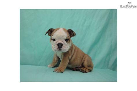 English Bulldog Girl 2 Brown White Female Bulldog For Sale In