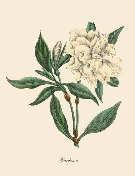 Painting Biology Plant Flower Rose Redoute Pontiana Canvas Art Print