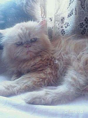 Woodland Park Nj Persian Meet Snoopy Egyptian Purrsian A Cat For Adoption Cat Adoption Kitten Adoption Pets