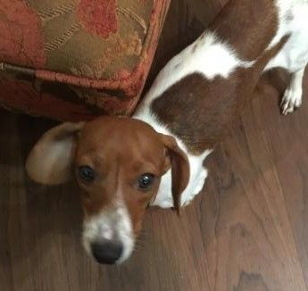 Annie Oakley Adoptable Dachshund All Texas Dachshund Rescue