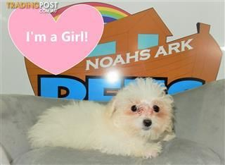 Pin By Victoria Scher On Maltese Dogs Puppies For Sale Maltese Dogs Puppies
