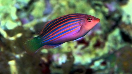 The Six Line Wrasse Is Both Beautiful And Active With Its Six Distinct Horizontal Blue Lines Overlaid Against An Orange B Reef Safe Fish Aquarium Fish Wrasse
