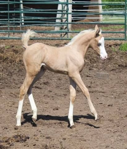 Cv Mobster N Rosegold Owned By Cheryle Schultz Baby Horses Cute Horses Beautiful Horses
