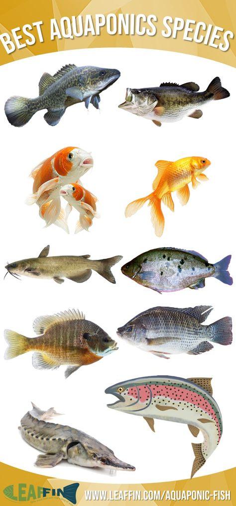 Top 10 Fish for Aquaponics