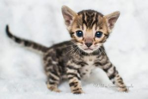Bengal Kittens Cats For Sale Near Me Wild Sweet Bengals In 2020 Bengal Kitten Bengal Cat Facts White Bengal Cat