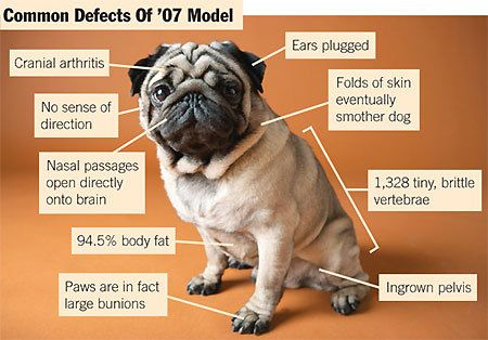 Common Defects Of The 07 Breed Of Pug Pugs Pug Breed Dogs