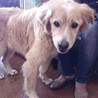 Pictures Of Polo A Golden Retriever For Adoption In Austin Tx Who