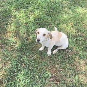 Pin By Maryse Stokes On Adoptable Beagle Pets Beagle Adoptable