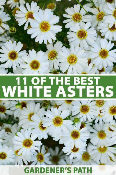 Best 11 Varieties Of White Aster Flowers For Your Garden Gardener S Path In 2020 Cottage Garden Design Aster Flower Garden Design