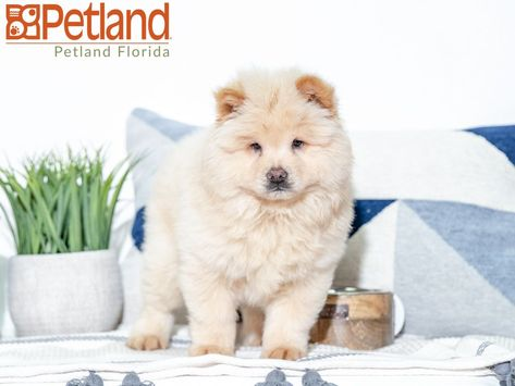 Petland Florida Has Chow Chow Puppies For Sale Check Out All Our