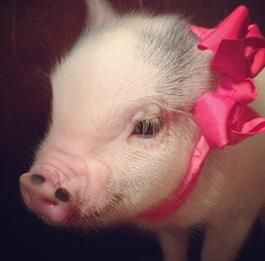 Charming Mini Pigs - Micro Mini Teacup Pigs Sale, Pet Pigs For Sale, Miniature Pigs For Sale