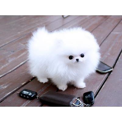 White Teacup Pomeranian Puppies Louisville Ky Asnclassifieds